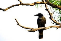 A single black raven sitting on the dead tree branch at the park with green leaf and white sky background