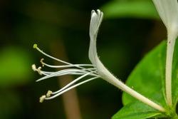 A single bloom of a Japanese Honeysuckle (Lonicera japonica). Raleigh, North Carolina.