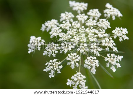 A single bloom of Queen Anne's Lace. a common weed that blooms in the fall and can be found in fields and along roadways all over North America #1521544817