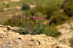 A single blooming  purple thistle flower (cirsium vulgare) is overlooking a vast dry field. Thorny purple flower is a good source of nectar for many pollinator insects. Image taken in Jordan