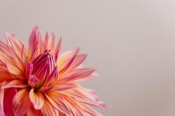 A Single bright coloured Dahlia flower