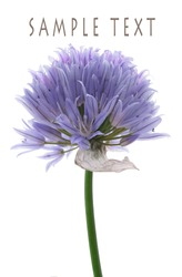 A single chive blossom isolated on white