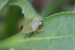 A single common green shieldbug, shield bug, Palomena prasina or stink bug resting on a green leaf in springtime, close-up anterior view