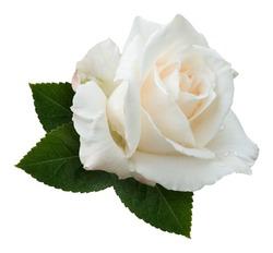 A single creamy white hybrid tea rose, variety