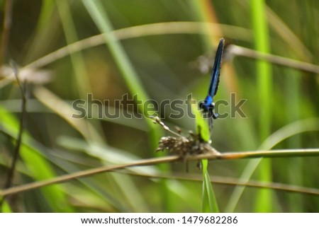 A single damselfly on a single blade of grass looking at the camera.