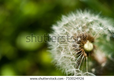 A single dandelion with some seeds blown away on green background in late summer #710024926