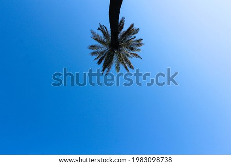A single date palm tree. A palm tree under a blue sky. Mavi gökyüzü altında, yalnız bir hurma ağacı. Antalya. Stok fotoğraf ©