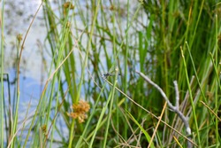 A single dragonfly rests on the reeds at the edge of a small pond.