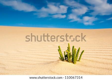 A single Euphorbia growing on a sand dune