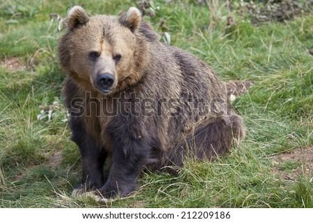 A single Eurasian Brown Bear sitting in some grass