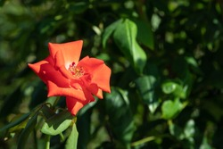 A single garden orange bright rose flower on a stem with green leaves and thorns in focus against a background of green garden foliage. Orange rose petals close up.