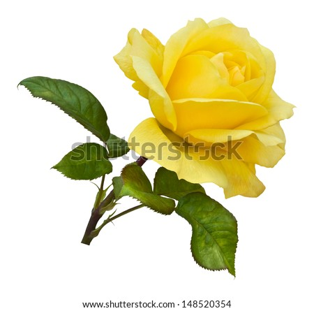 A single golden yellow rose on a natural stem with green rose leaves. Isolated on white with clipping path.