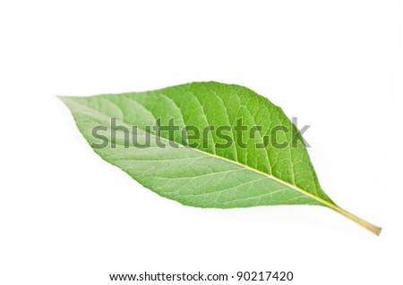 A single green leaf close up isolated over white background