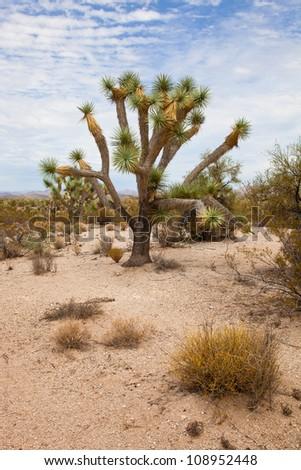A Single Joshua Tree in the Desert
