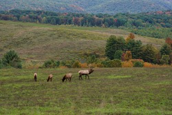 A single large bull elk calling in more of his harem while three cow elk graze nearby. Pennsylvania wild elk herd. October, fall foliage.