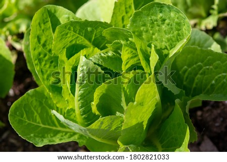 A single large healthy raw head of organic romaine lettuce growing in a garden on a farm. It has vibrant green crispy leaves. The sun is shining on the lush fresh vegetable plant with brown dirt. Photo stock ©