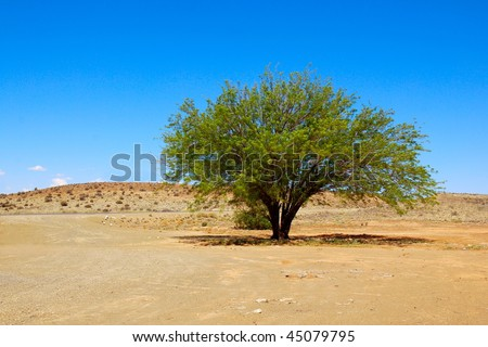 A single lonely green Mesquite tree  (Prosopis pubescens) growing in the Karoo desert, Northern Cape, in South Africa