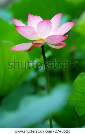 A single lotus flower between the greed lotus pads