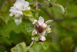 a single may bug on apple blossom, spring insect, flower pollination by chafer