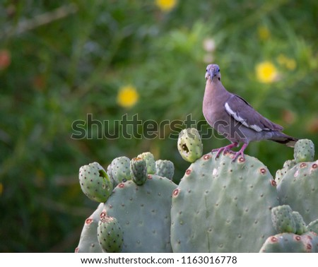 A single mourning Dove is pictured perched upon a prickly Pear cactus looking out with green bush and yellow flowers in the background in this photo taken in Phoenix, Arizona