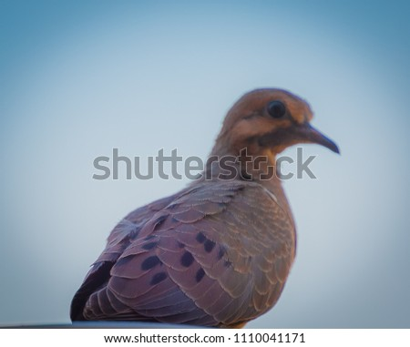 A single mourning dove sits quietly as he waits for people to go away so he can return to his nest that is made on a backyard patio. These photos show a profile picture of these birds