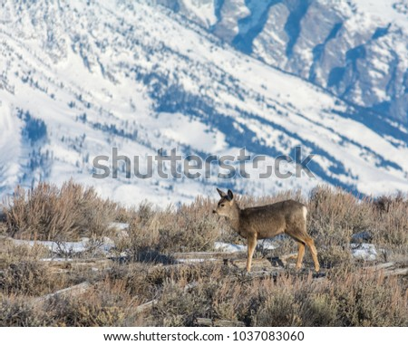 a single mule deer stands upright in tan scrub brush with a snowy mountainside in the distance. #1037083060