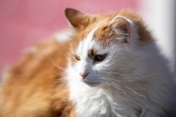 A single orange tabby cat or alley cat laying on the top of a railing with a focused view ahead. The stray animal has a white underbody with an orange on top. Its ears are up and alert to activity.