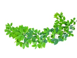 A single pair of ovate-oblong leaflets of  Manila tamarind (Pithecellobium dulce) isolated on white background. The leaves of Manila tamarind, Madras thorn, or camachile are medical herb.