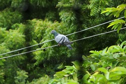 A single pigeon sits on an electric line with a green background on the outdoor. A pigeon perched on the electrical wiring.