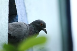 A single pigeon sits on an hole on the wall in the house with a green background on the outdoor. A pigeon perched on the wall or house