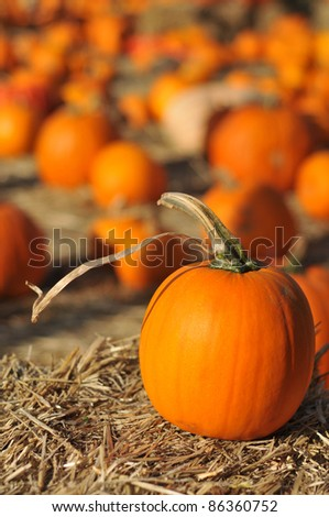 A single pumpkin sits on hey in front of many other pumpkins