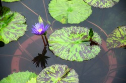A single purple colored flowering water lily and lily pads on water in Guyi Gardens Shanghai China.