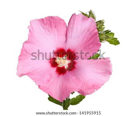 A single purple flower and buds of the Rose of Sharon (Hibiscus syriacus) plant isolated against a white background