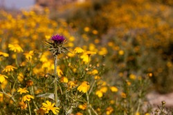 A single purple thistle flower (cirsium vulgare) is overlooking a vast field of yellow daisies on a wild field. Thorny purple flower is at contrast with peaceful yellow flowers. Image taken in Jordan