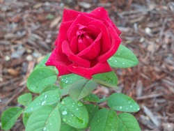 A single red Chrysler Imperial rose