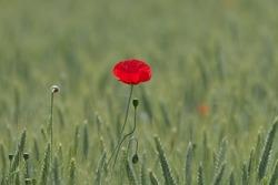 a single red poppy in a grain field
