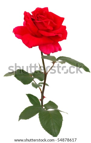 red rose pictures. A single Red rose isolated