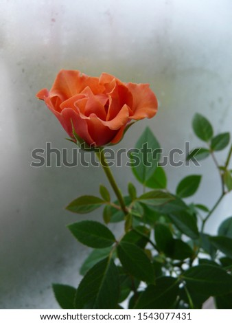 A single salmon-colored rosebud half-opened against a misty background #1543077431