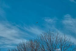 A single seagull freely flying on bird and open sky. Seagull are just landing together with dried tree and open blue sky and white cloud background.