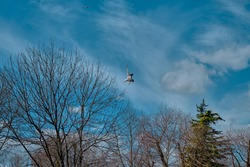A single seagull is freely flying on bird and open sky. Seagull are just landing together with dried tree and open blue sky and white cloud background.