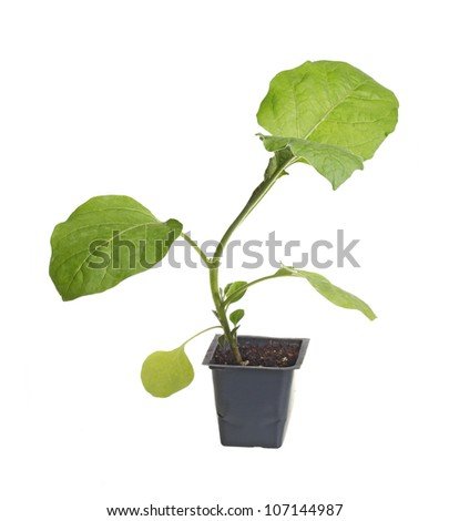 A single seedling of an eggplant (Solanum melongena) ready to be transplanted into a home garden isolated against a white background - stock photo