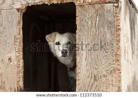 A single sled dog watching warily from inside the door of its weather-beaten plywood kennel.