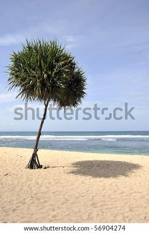 A Single Spiky Tree on the Beach
