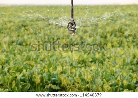 A single sprinkler from a center pivot sprinkler system waters sugar beets growing in the field