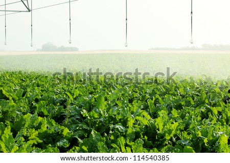 A single sprinkler waters sugar beets growing in a farm field - stock photo