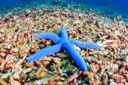 A single starfish sites on a destroyed coral reef.  Global warming and illegal dynamite fishing are having a huge negative effect on coral reefs