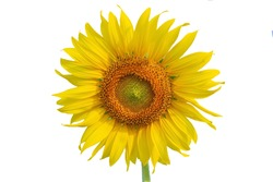A single sunflower blooming beautifully in the sun.