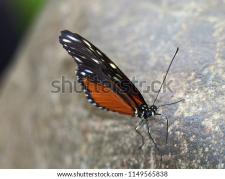A single Tiger Longwing butterfly rests on a leaf