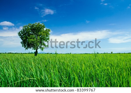 A single tree on the rice field and blue sky.