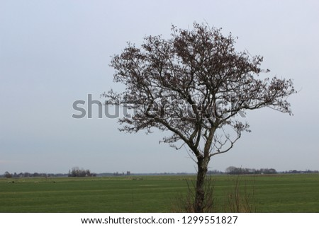 A single tree with no leaves is standing on a rural field at Friesland in the Netherlands. It is a beautiful day in spring and the branches of the tree stand out against the perfect blue sky behind. #1299551827